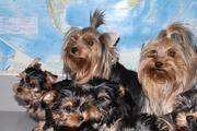 Продаются игривые щенки йоркширского терьера 2 месяца. Шерсть шелковис