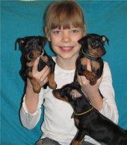 Продаю щенков Пинчера миниатюрного (цвергпинчер)