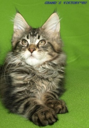 Мейн -Кун котята продаю