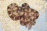 Продаю рептилий в Ростове