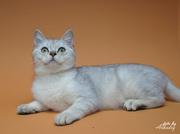 Серебристый затушеванный котик