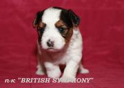 Продаются Бивер йорк щенки.