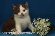 Продается британский котенок шоколадный биколор циннамон носитель.
