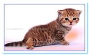 Британские самые красивые  котята