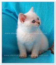 Британские котята эффектных окрасов