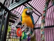 Fдома,  поднятые и зарегистрирован синих и золотых попугаи ара для прод