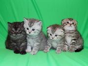 Шотландские вислоухие котята Art`s Family Помёт П