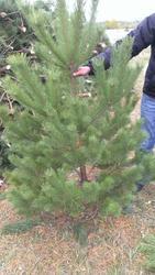 Новогодние сосны (елки) оптом