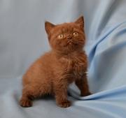 Британские котята шоколадный окрас