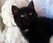 Чёрные Британские котята