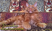 Брутальный котенок мейн кун - Ярослав