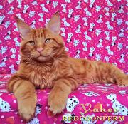 Котенок мейн кун красный солид - Яков
