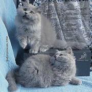 Британские но только длинношерстные котята!